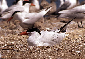 Source page: http://luirig.altervista.org/cpm/thumbnails2.php?search=Caspian+Tern+Chicks+in+Nest