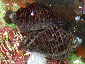 Web page source: http://commons.wikimedia.org/wiki/File:Mating_whelks_at_tide_pools.jpg